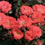 Розы Корал Дрифт