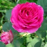Розы Эспирит де Жардин