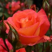 Розы Фэйрест Кейп