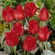 Тюльпаны Юлий Цезарь
