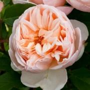 Roses Belle Romantica (Meigapencey,  Alexandrine)