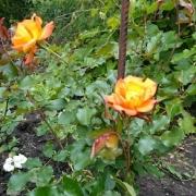 Розы Бонанза