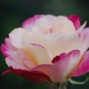 Розы Двойное удовольствие