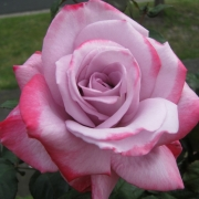 Розы Эйфель Тауэр
