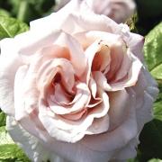 Розы Сахсенперл