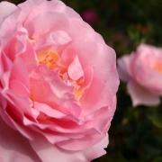 Розы Сувенир де Луис Амад