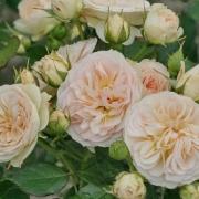 Розы Пастелла
