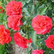 Розы Ласт Танго