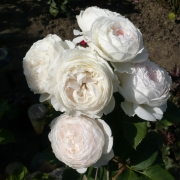 Roses Herzogin Christiana