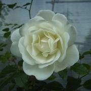 Розы Вирго