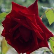 Розы Эна Харкнесс