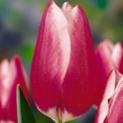 Тюльпаны Хадевич