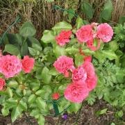 Розы Эльвешорн