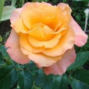 Розы Парео