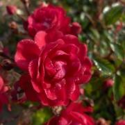 Розы Фэйри Куин