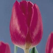 Тюльпаны Марафон Чемпион
