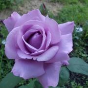 Розы Вальтц Тайм