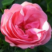 Розы Егесков