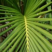Комнатные растения Ховея (Кентия)