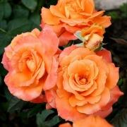 Розы Уайлдфайер