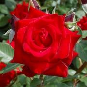 Розы Херц Асс
