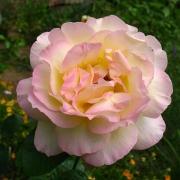Розы Пис