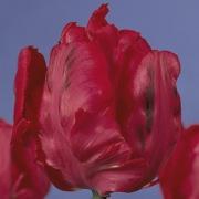 Тюльпаны Эрна Линдгрен