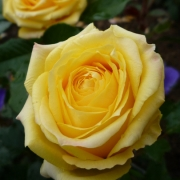 Розы Каппучино