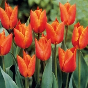 Тюльпаны Вероникас Сансон