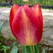 Тюльпаны Тэнесси