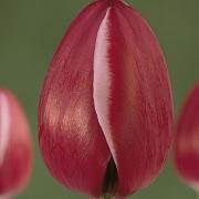 Тюльпаны Астарте
