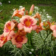 Daylily Strawberry Candy