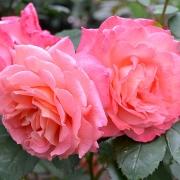 Розы Институт Люмьер