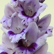 Гладиолусы Гладиолусы. Как купить луковицы гладиолусов. Выращивание и уход за гладиолусами.