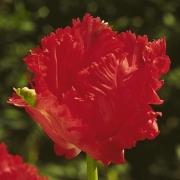 Тюльпаны Ред Чемпион