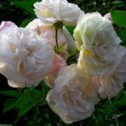 Розы Эулапиа Берридж