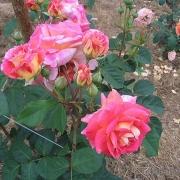 Розы Луи Пажотин