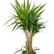 Комнатные растения Юкка