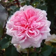 Розы Курфюрстин Софи