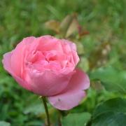Розы Королева Елизавета