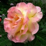 Розы Глория Дей