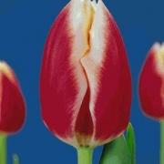 Тюльпаны Маркант
