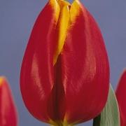 Тюльпаны Кингс Клоак