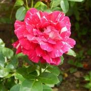 Розы Ола