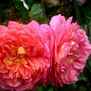 Розы Кристофер Марлоу