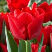 Тюльпаны Редлион