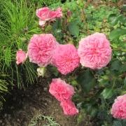 Розы Ле Кваттре Сизонс