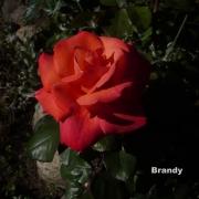 Бренди