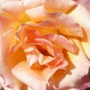 Розы Фредди Меркури