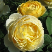 Розы Шарлотта